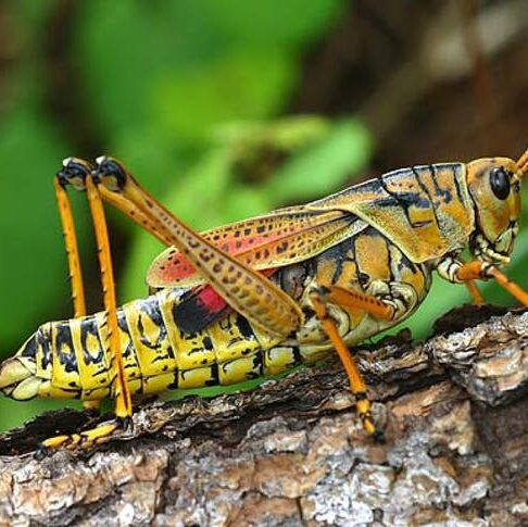 Grasshopper Tattoos Idea and Meanings